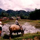Indonezja - bawół i pola ryżowe