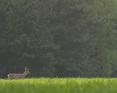 Kozioł