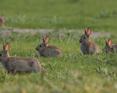 Dziki królik