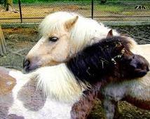 Konie, kuce i kucyki tak się całują lub tak pokazują, że się lubią.