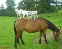 Pieski sobie siedzą na koniu i oglądają widoki.