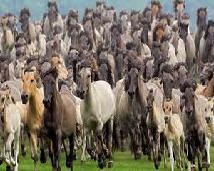 Stada koni kiedyś były bardzo duże, a teraz są mniejsze.