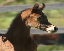 Konie arabskie mają głowe szczupacza, a źrebaki śmiesznie wyglądają.