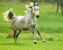 Galopujący koń arabski.