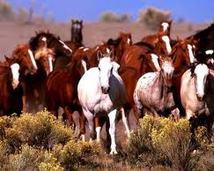 Stado koni najczęściej jest składane z różnych ras koni, kuców i kucyków.