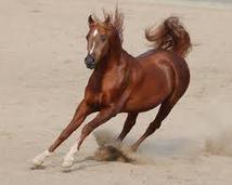 Galopujący koń arabski
