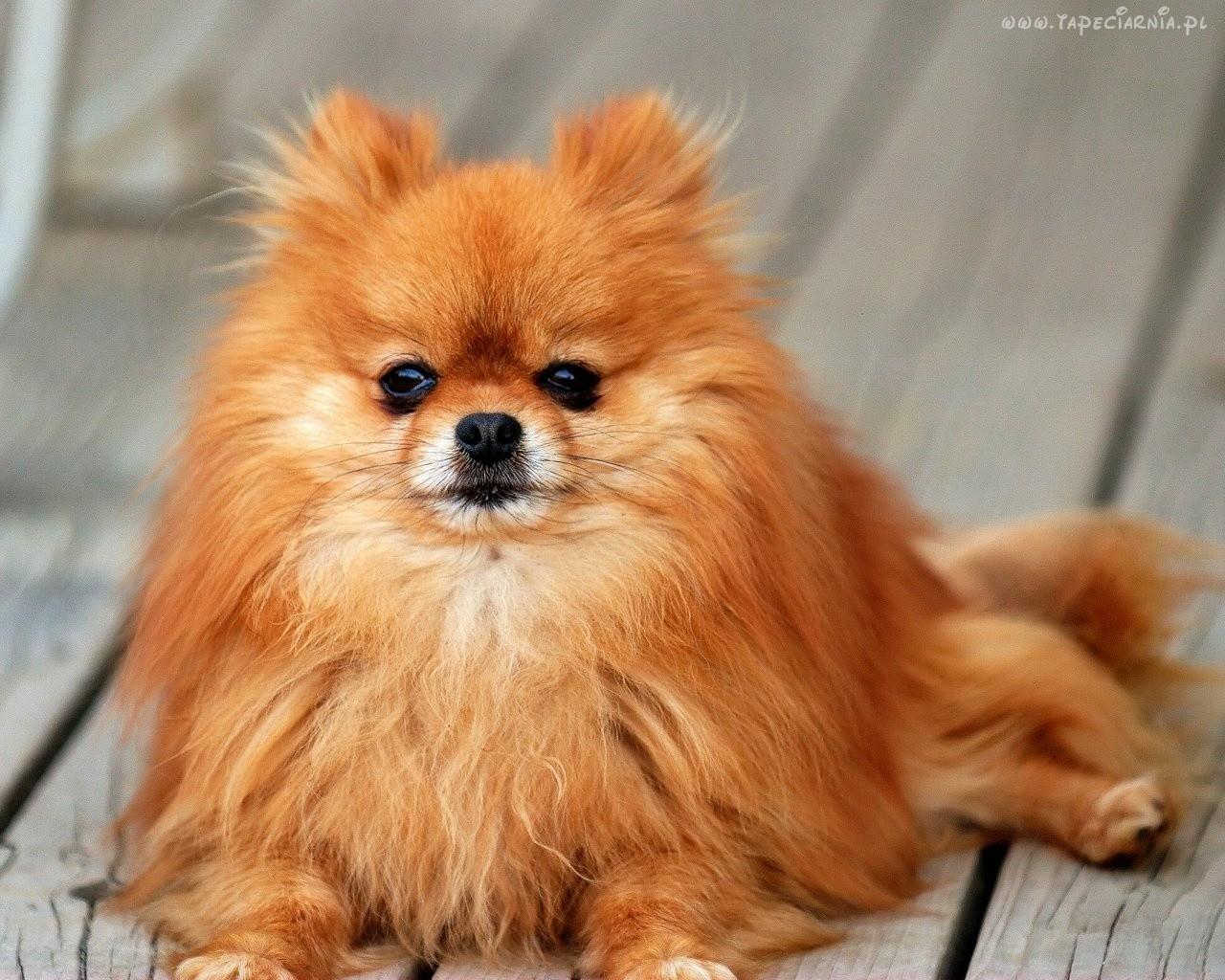 Pomeranian :: Psy domowe Pomeranian Wiki