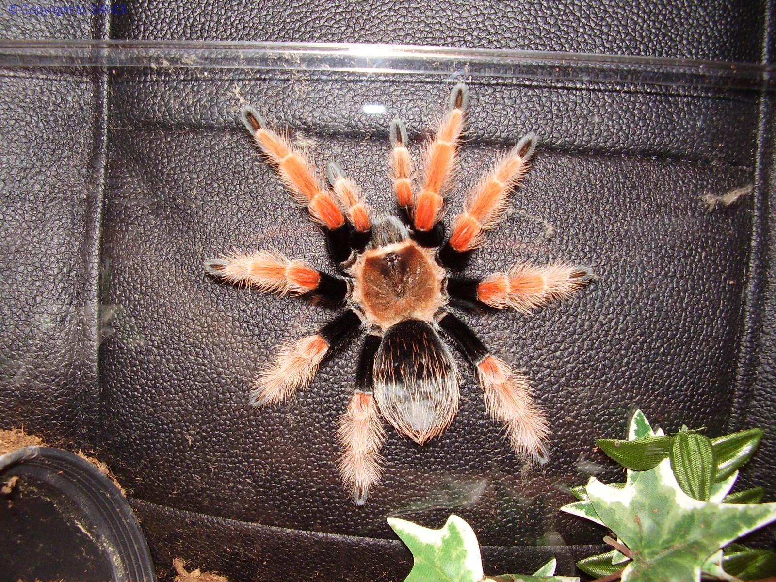 Как содержать паука птицееда в домашних условиях