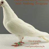 Brodawczak pl.-biały