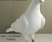 Polnische Warzentauben