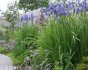 Wąska rabata bylinowa pod płotem. Wiosną dominują tu kosaćce.