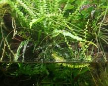 16.01.2014 Nephrolepis cordifolia