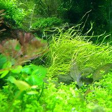 Mięsożerca - Utricularia graminifolia