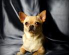 Chihuahua Calvados Vena