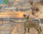 Chihuahua Reproduktor