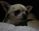 Chihuahua Agoxa My Endless Love