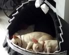 Chihuahua - słodkich snów