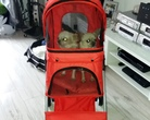 Chihuahua - gotowe na wystawę