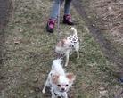 Chihuahua - spacerek