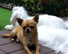 Chihuahua & Maltańczyk