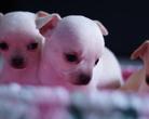 Chihuahua szczenięta - 4 tygodnie