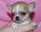 Chihuahua samczyk