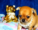 Chihuahua boy for sale