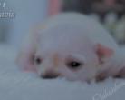 Chihuahua krótkowłosa - 11 dni