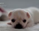 Chihuahua krótkowłosa - 3 tygodnie