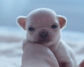Chihuahua sunia - 2 tygodnie