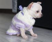 Chihuahua sunia - 5 tygodni