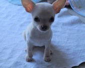Chihuahua sunia - 7 tygodni