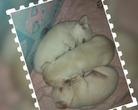 Chihuahua puppy