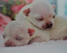 Chihuahua szczeniaki