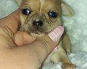 Chihuahua - 3 tygodnie