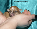 Chihuahua - 7 dni