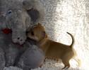 Chihuahua 5 tygodni