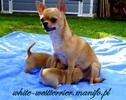 Chihuahua 6 tygodni