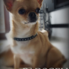 Chihuahua Naomi Eminentia Canis