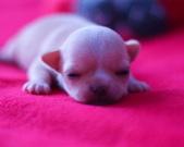 Chihuahua sunia - 8 dni
