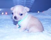 Chihuahua sunia - 3 tygodnie