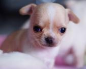 Chihuahua sunia - 4 tygodnie