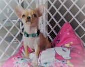 Chihuahua sunia - 10 tygodni