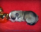 Chihuahua girl - 2 dni