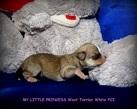 Chihuahua girl - 1 tydzień