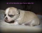 Chihuahua girl - 2 tygodnie