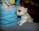 Chihuahua girl - 4 tygodnie