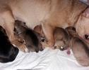 Chihuahua zaraz po narodzinach