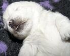 Westi-Ulubiona pozycja do spania