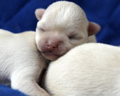 Chihuahua 2 doba
